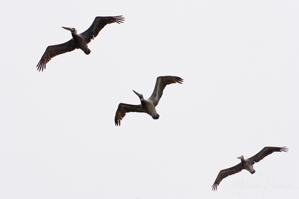 A trio of pelicans fly overhead in the overcast skies of Big Sur, California