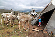 Stunning images reindeer herders of Mongolia<br /> <br /> Tsaatan people are reindeer herders and live in northern Khövsgöl Aimag of Mongolia. Originally from across the border in what is now Tuva Republic of Russia,the Tsaatan are one of the last groups of nomadic reindeer herders in the world. They survived for thousands of years inhabiting the remotest Ulaan taïga, moving between 5 and 10 times a year. <br /> The reindeer and the Tsaatan people are dependent on one another. Some Tsaatan say that if the reindeer disappear, so too will their culture. The Tsaatan depend on the reindeer for almost, if not all, of their basic needs:  their reindeers provide them with milk, cheese, meat, and transportation. They sew their clothes with reindeer hair, reindeer dung fuels their stoves and antlers are used to make tools. They do not use their animals for meat. This makes their group unique among reindeer-herding communities. As the reindeer populations shrink, only about 40 families continue the tradition today. Their existence is threatened by the dwindling number of their domesticated reindeer. Many have swapped their nomadic life for urban areas. <br /> <br /> Tuvshinbayar is playing with the reindeers<br /> ©Pascal MANNAERTS/Exclusivepix Media