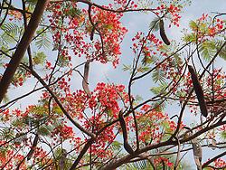 Gulmohar or Flame tree, Mysore.