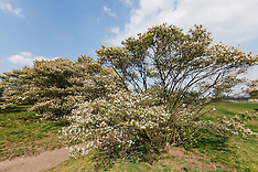 Krentenboom, Amalanchier