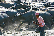 Farmers herd buffaloes  for ploughing rice fields in Manatuto.The threat of global pandemics highlights the importance of controlling animal diseases. The Ministry of Agriculture and Fisheries in Timor-Leste, supported by the UN FAO, is establishing a six-month pilot project for a system of animal disease surveillance. The creation of this system will not only preserve the economic value of livestock, but help prevent and control outbreaks of diseases in livestock which could spread to humans. .Photo by UNMIT/Martine Perret. 25 April 2009