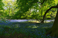 2018-05-06 - SWNS - BLUEBELLS