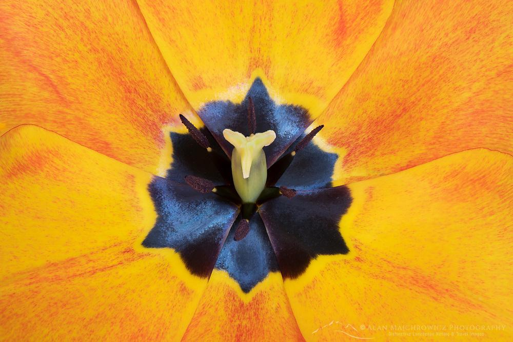Closeup of orange tulip blossom.