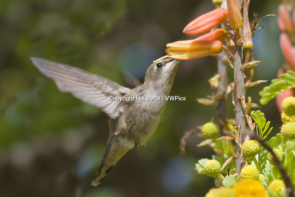 Anna's Hummingbird feeding on a flower with it's bill inserted.(Calypte anna).Irvine,California