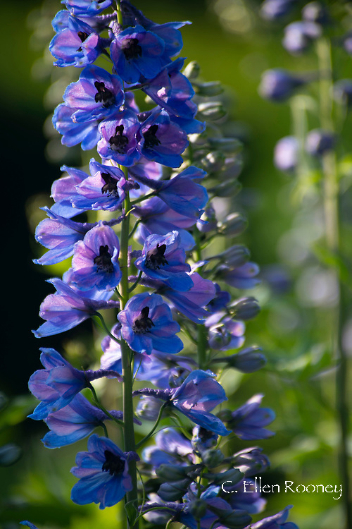 A close-up of Delphinium elatum 'Cassius' at Cothay Manor, Greenham, Wellington, Somerset, UK