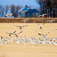 snow geese landing in rows of cut grain, stuble fields