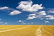 swath wheat and clouds<br /> near Bengough<br /> Saskatchewan<br /> Canada