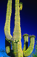Organ Pipe Cactus National Monument, Ajo, Arizona USA