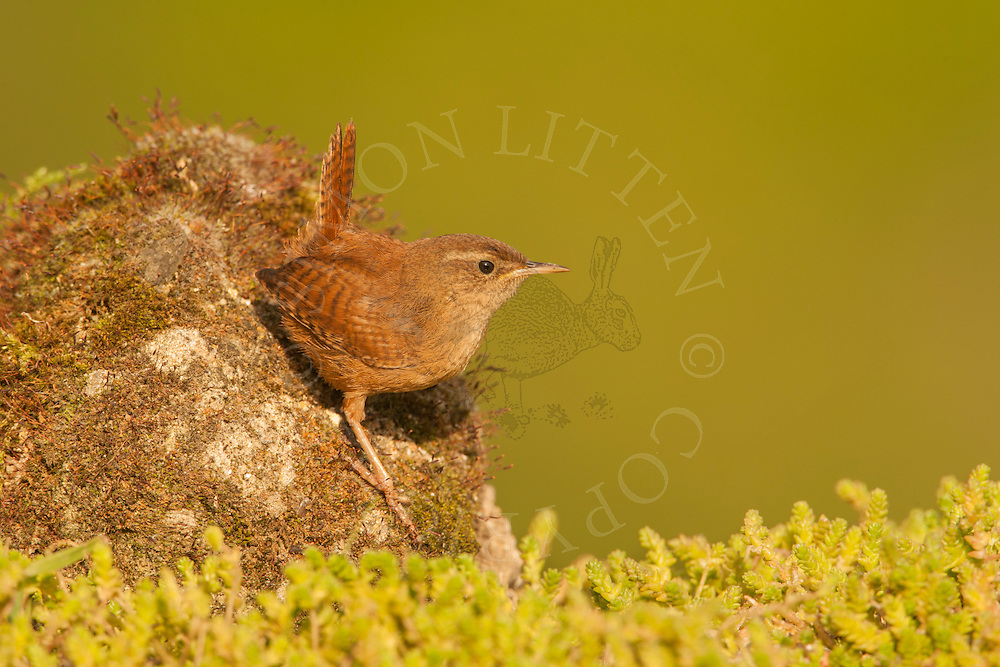 Eurasian Wren (Troglodytes troglodytes) juvenile perched on moss covered rock, Norfolk, UK.