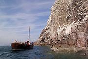 Atlantic Gannet (Morus Bassanus)