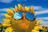 frankrijk - zonnebloem zonnenbloemen, zonnenbril , zomer vakantie , gevoel , zonnebril , veld .