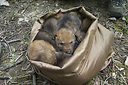 Coyote <br /> Canis latrans<br /> Four-week-old pups waiting to be examined by wildlife researchers of the Cook County Coyote Project<br /> Chicago, Illinois