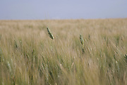 two wheat stalks sticking out above the others
