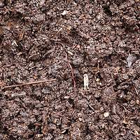 A red compost worm in the middle of high quality, rich, dark, damp compost.