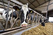 Nederland, Dreumel, 2-4-2018 Koeien staan in de stal bij een melkveebedrijf. De dieren eten gras, hooi, kuilvoer. Er is een open dag georganiseerd door Albert Heijn . Foto: Flip Franssen