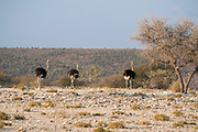 A herd of South African ostrich (Struthio camelus australis) Hoanib riverbed, Namibia