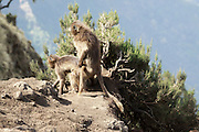 Africa, Ethiopia, Simien mountains, Gelada monkeys Theropithecus gelada copulating