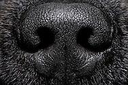 Rhinarium (Rhinarium) of a Newfoundland dog, domestic dog (Canis lupus familiaris). The area formed by the mucosa around the nostrils is hairless. Dogs are among the macrosmatic animals (nose animals), their sense of smell plays an extremely important role. Compared to  human the olfactory abilities of the dog is about a million times better. In the olfactory mucosa of a sheepdog there are about 220 million olfactory cells,  humans only have about 5 million. Dogs are able to breathe up to 300 times per minute. The olfactory cells are permanently supplied with scent particles, and passed the resulting information to the brain. Accordingly, the olfactory brain of dogs is much more voluminous compared to humans (10% of the dog brain, 1% of the human brain). The dog's nose can differ betwenn right and left, so that dogs smell in stereo. Newfoundland dog-breeding Stender, Neumuenster, Germany. / Nasenspiegel (Rhinarium) eines Neufundlaenders, Haushund (Canis lupus familiaris). Der durch Schleimhaut um die Nasenloecher gebildete Bereich ist haarlos. Hunde gehoeren zu den Makrosmatikern (Nasentiere), d.h. ihr Geruchssinn spielt eine ausserordentlich grosse Rolle. Im Vergleich zum Menschen ist das Riechvermoegen des Hundes um etwa eine Million mal besser ausgebildet.  Auf der Riechschleimhaut eines Schaeferhundes befinden sich ca. 220 Millionen Riechzellen, beim Menschen sind es lediglich um die 5 Millionen. Hunde sind in der Lage bis zu 300 mal pro Minute zu atmen. Die Riechzellen werden so permanent mit Duftpartikeln versorgt, und die anfallenden Informationen an das Gehirn weitergeleitet. Entsprechend voluminoes ist das Riechhirn von Hunden im Vergleich zum Menschen (10% vom Hundehirn, 1% vom Menschenhirn). Die Hundenase kann rechts und links unterscheiden, Hunde riechen also stereo. Neufundlaender-Zucht Stender, Neumuenster, Deutschland.