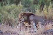 Lions mate in Tanzania, Africa
