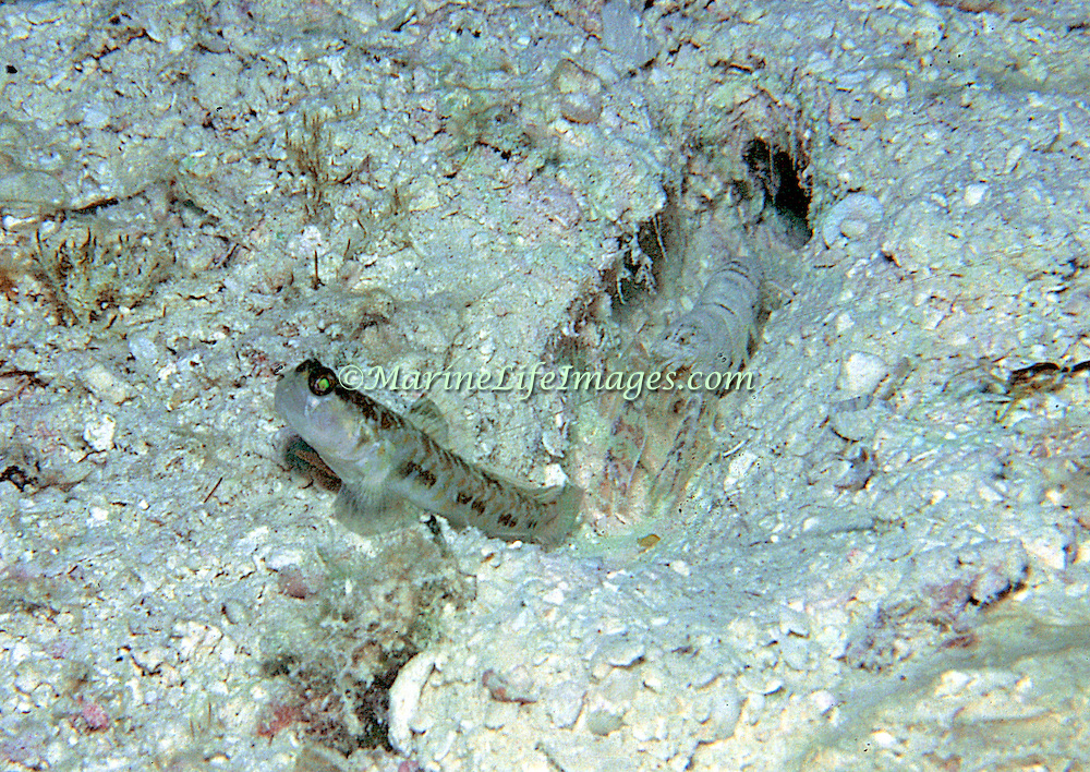 Orangespotted Goby inhabit burrow in sand, mud or silt, built and maintained by commensal snapping shrimp, in Tropical West Atlantic; picture taken Ft. Pierce, FL.