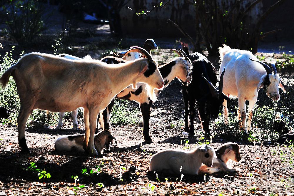 Goats in Yapiroa, Charagua, Santa Cruz, Bolivia