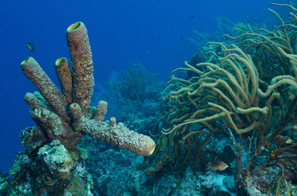 Brown Tube Sponge (Agelas conifera)<br /> BONAIRE, Netherlands Antilles, Caribbean<br /> HABITAT & DISTRIBUTION: Protected areas & crevices of coral reefs and walls.<br /> Florida, Bahamas & Caribbean.