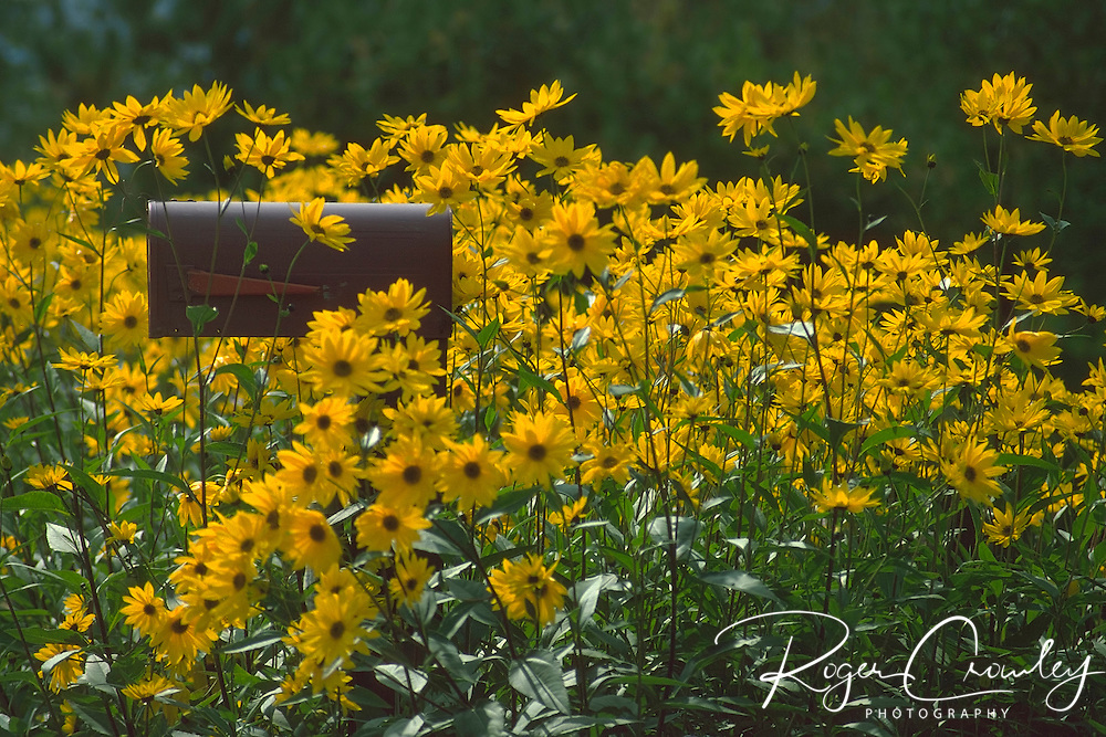 Roger Crowley / CrowleyPhotos.com..Blackeyed Susans surround a country mailbox in East Montpelier Vermont...