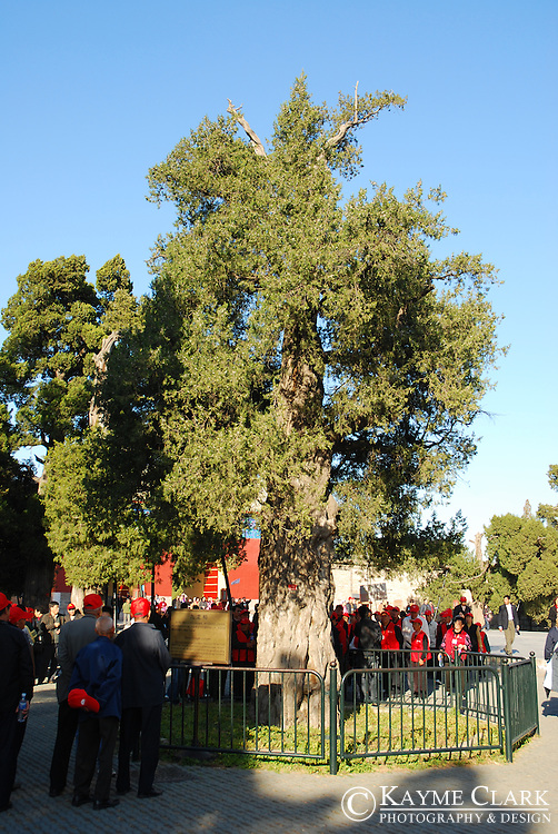 Nine Dragon Juniper Tree, Temple of Heaven, Beijing, China