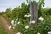 Rose bush as a warning of any greenfly infestation at a Winery, Hunter Valley, Australia