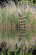 A heron sits serenely on a fence at the London Wetland Centre, Barnes, London