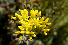 Crassulaceae, Vetplantenfamilie