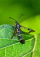 Currant Clearwing - Synanthedon tipuliformis