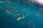 Long-beaked common dolphin (Delphinus capensis)<br /> Feeding in Sardine run,<br /> Eastern Cape<br /> SOUTH AFRICA