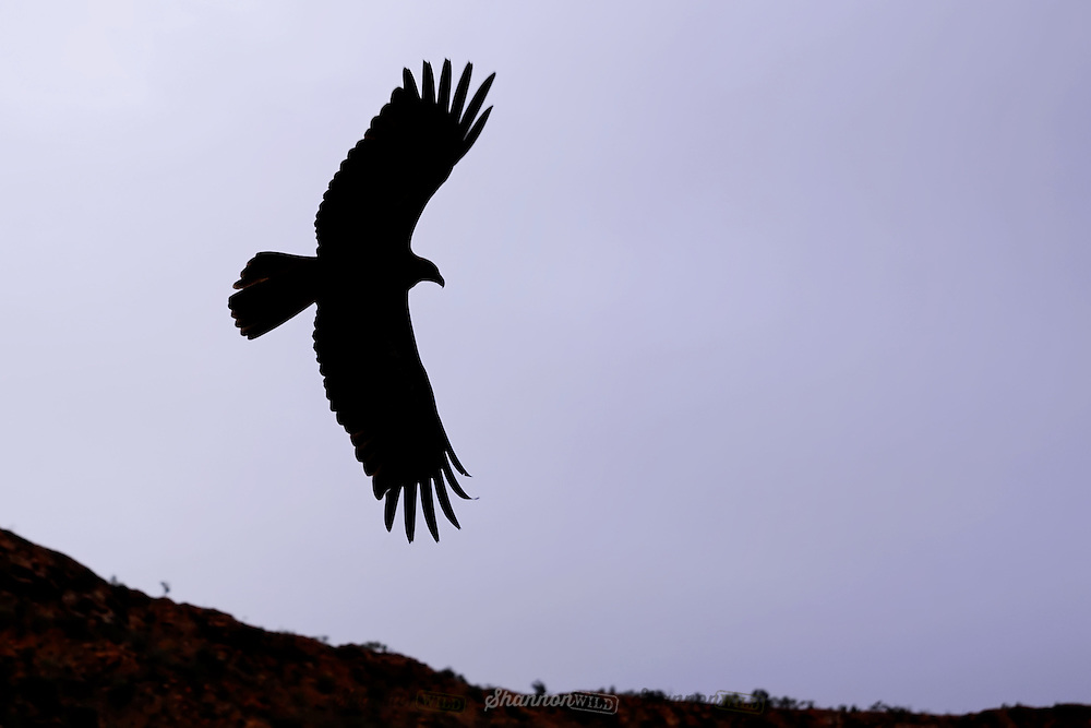 Silhouette of a Wedge-tailed Eagle (Aquila audax) at dusk, Alice Springs, Northern Territory, Australia