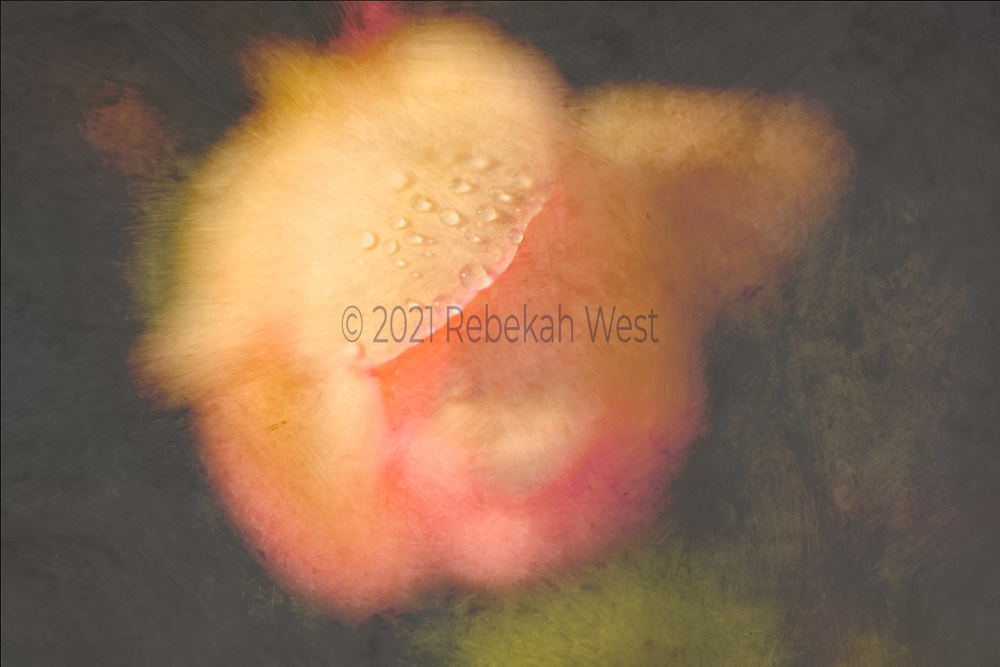 Gold, peach, rose single blossom rose, Renaissance painting colors, slightly left of center in horizontal field, close up, focus on water droplets at edge of petal, tender, light in dark background, orange, rose, chartreuse, yellow, pink, millennial pink, all out of focus except edge of petal with droplets, horizontal, flower art, feminine, high resolution, 5616 x 3744