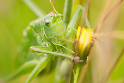 Great green bush-cricket (Tettigonia viridissima). Dorset, UK.