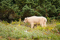 A baby mountain goat feeds on the last of the season's wildflowers on Hurricane Ridge on Washington's Olympic Peninsula on a chilly fall afternoon.