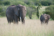 Elephant (Loxodonta africana) standing in grassland with young