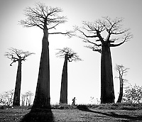 Black and white image of Baobab Alley, Morondova, Madagascar.  This enchanting and other worldly place with it's thousands of year old trees is sacred to the local people.
