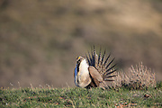 Sage displaying and booming on a dancing ground (lek) during the spring mating season in Wyoming, U.S.