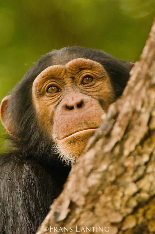 Chimpanzee young male, Pan troglodytes verus, Fongoli, Senegal