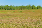 Field of cultivated blueberries in bloom<br /> Upper Brockway<br /> New Brunswick<br /> Canada