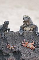 Marine iguana, Amblyrhynchus cristatus cristatus and Sally Lightfoot Crab, Grapsus grapsus at Punta Espinoza on Fernandina Island in the Galapagos Islands National Park and Marine Reserve, Ecuador.