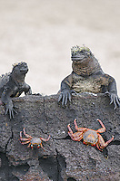 Marine iguana, Amblyrhynchus cristatus cristatus and Sally Lightfoot Crab, Grapsus grapsus at Punta Espinoza on Fernandina Island in the Galapagos Islands National Park and Marine Reserve, Ecuador.