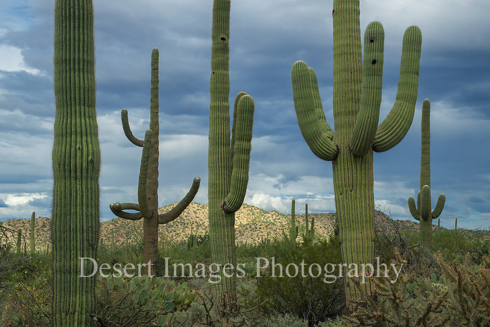 Saguaro National Park<br /> Arizona