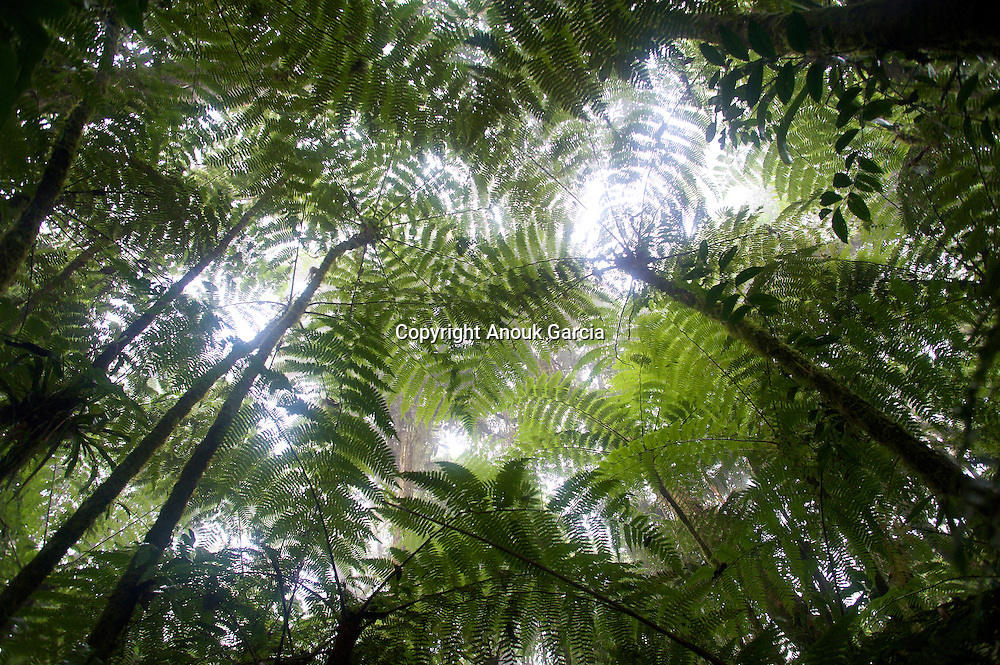 Foret de fouge?res arborescentes dans la foret primaire de la Serra Bonita///Forest of tree ferns in the rainforest of Serra Bonita