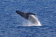 A humpback whale (Megaptera novaeangliae) breaches in the Pacific Ocean off the northwestern coast of Maui, Hawai`i. Humpback whales, which can weigh 80,000 pounds (36,000 kilograms) and be more than 50 feet (16 meters) long, are acrobatic whales, known for breaching and slapping the water with their tails and pectorals. Their diet consists mostly of krill and small fish.