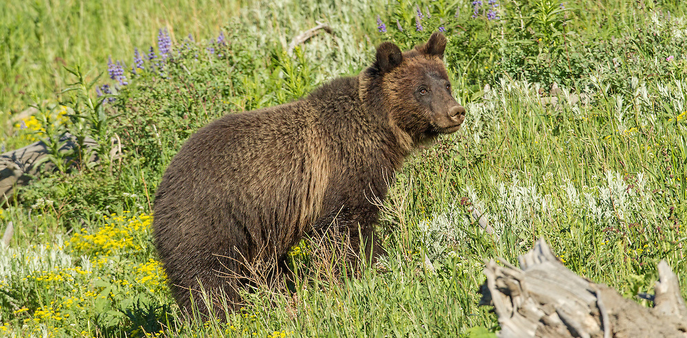 Life is difficult for sub-adult grizzly bears, learning to live on their own. These young bears are forced to inhabit territories without resident adult grizzlies, including areas close to human habitation. As the bears mature, they will claim their own territory among the resident grizzlies and retreat from the roadside.