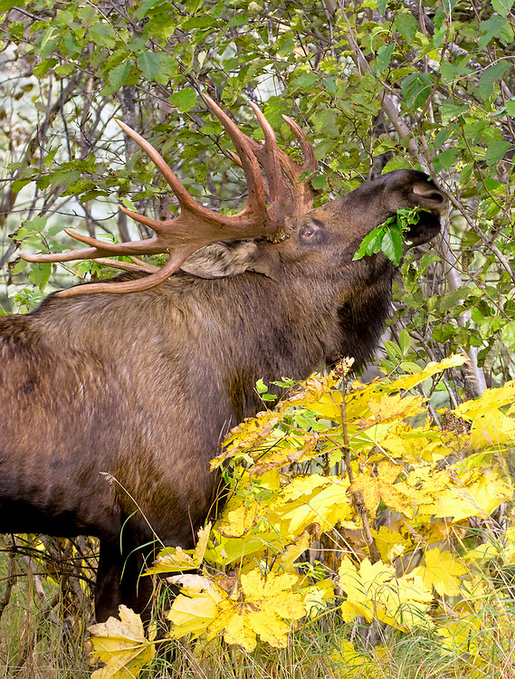 Alaska; Large bull moose (Alces alces) snacking on Alder leaves in autumn, Kincaid Park, Anchorage.
