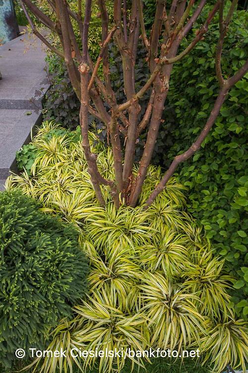 Acer griseum multi stem under planted of Hakonechloa macra 'Aureola'